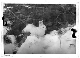 White rabbit in snow under bush