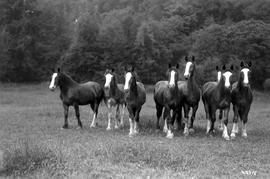 """Pure-blooded stock at Agassiz, Fraser Valley, British Columbia""; a pack of horses; pho..."