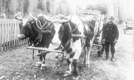 Bella Coola; Hauling Lumber By Ox-Cart; Torger Olsen At Right With Oxen Dick And Dime.