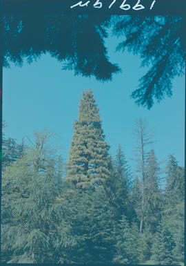 Golden Spruce Tree, Port Clements Queen Charlotte Islands