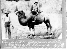 W.H. Smith, A. McPhail or Adam Heffley, and a Cariboo camel, Grande Prairie BC