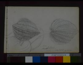 Mussel Shell, Gerryborough.