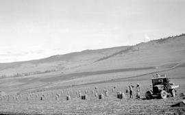 """Harvesting onion crop from Mr. Latta's land, Black Mountain District, Okanagan Valley&..."