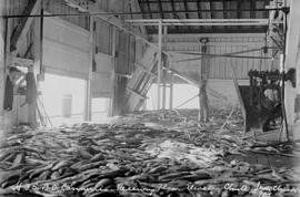 B.C. Canneries; receiving floor, elevator chute, iron chink