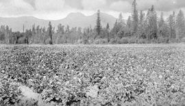 """A potato field, Chilliwack; British Columbia is noted for its potato growing."""