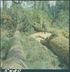 Tree Felling, Juskatla Queen Charlotte Islands