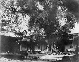 [Canton, China]  12.  View in the celebrated Honam Temple taking in an old tree and the usual acc...