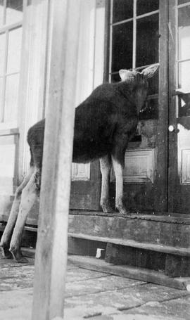 A moose calf window shopping in Barkerville.