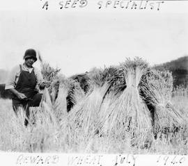 """A seed specialist""; Mrs. Amy Grace Kelsey cutting wheat by hand."
