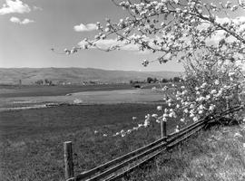Apple Blossom Near Vernon