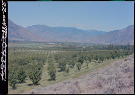 Cherry Orchard, Cawston Valley