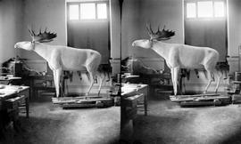 Victoria, Provincial Museum Interior Taxidermy Shop, Moose Specimen In Progress.