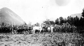 Artillery Farm, Pemberton Meadows; harvesting corn and storing hay