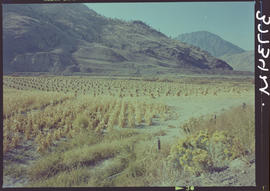 Corn Stocks Near Spences Bridge