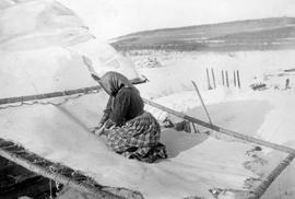 A Casca [Kaska] Indian woman scraping a moose hide.