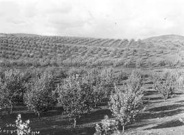 """Belgo orchards, Vernon""."