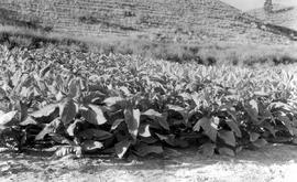 """Plots of tobacco, variety tests, Dominion Experimental Station, Summerland, BC."""
