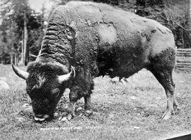 """Buffalo in Stanley Park""; Vancouver."