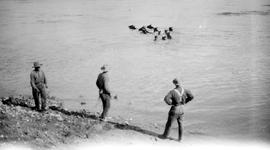 Swimming pack train, Carbon Creek, Peace River.