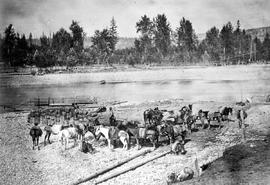 Red-headed Davis's pack train cooling off before removing their aparejos on the banks of the Quesnelle [Quesnel] River.