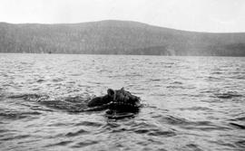 Bear swimming in Whitesail Lake.