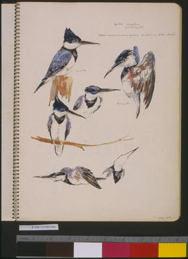 [Belted Kingfisher]