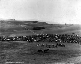 """A roundup on the cattle ranges near Kamloops, BC""; possibly Douglas Lake Cattle Company, visitors in foreground."
