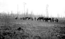 Forests Branch Horses Hazelton