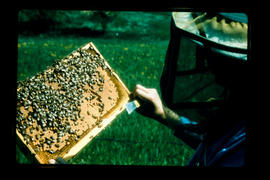 Beekeeper Holding Bees On Honeycomb
