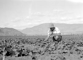 """Captain Porteous showing size of cants on July 7th""; cantaloupe field."