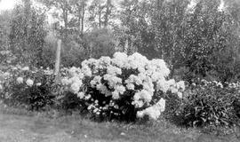 """'LaTulipe' with 250 blooms""."