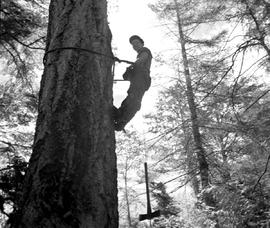 High Rigger Topping A Spar Tree