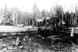 Logging at Royal Oak near Victoria; these trees measured thirty-three feet in circumference.