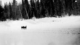 """Moose on the Ground-hog Range -Cassiar district; Darby and Joan uncertain whether to run or..."