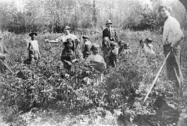Digging potatoes, Bella Coola