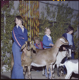 100 Mile House Fall Fair; showing goats.
