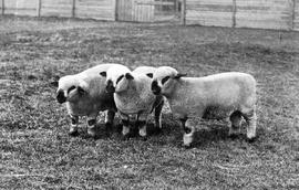 """Group of Hampshire Lambs, Fraser Valley, British Columbia""."