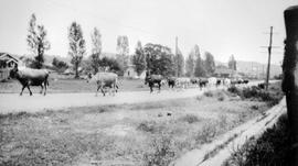Cows on their way to be milked; possibly at the McNair Dairy; taken from 1415 Lang Street, Victoria.