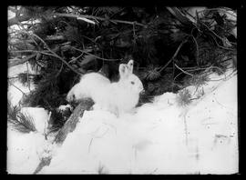 Rabbit in snow under bush