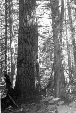 Unidentified forest scenery; GR-0943, box 11, file 2.