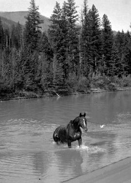 Hauling a horse across the Kootenay River.