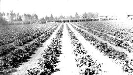 """A strawberry field at Keatings near Victoria, BC""."